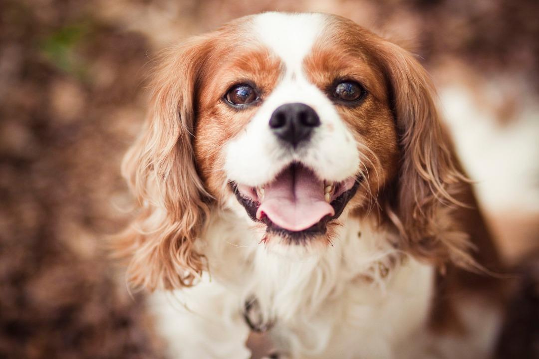 سگ عروسکی کاوالیر کینگ چارلز اسپنیل