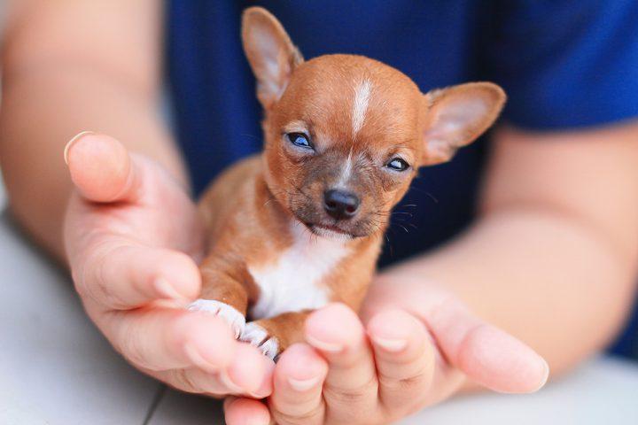 بیماری های سگ عروسکی