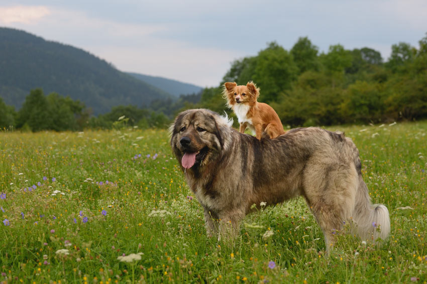 سگ عروسکی روی سگ بزرگ