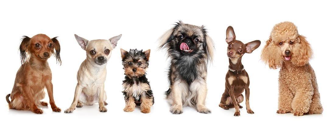 نژاد سگ های عروسکی