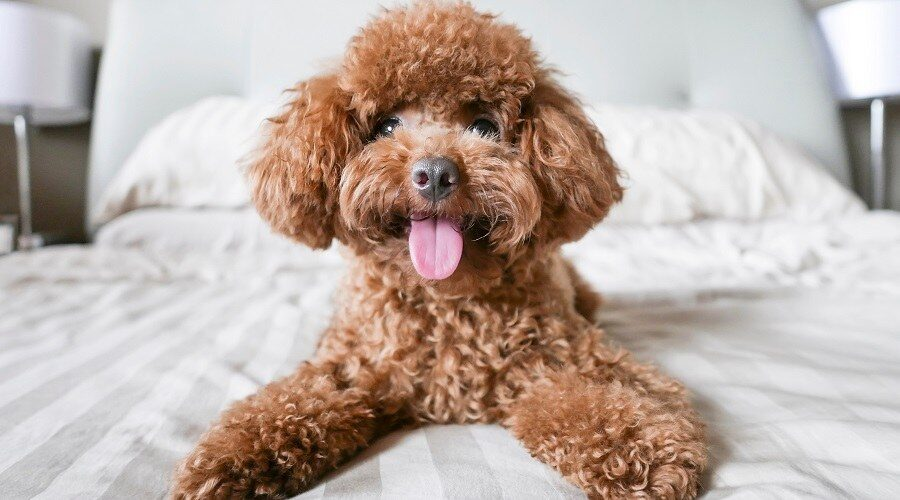 سگ پودل عروسکی