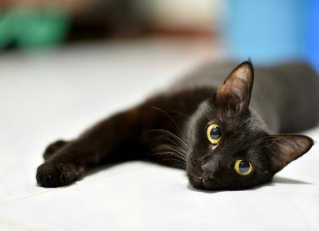 گربه مشکی مبتلا به کرم در گربه
