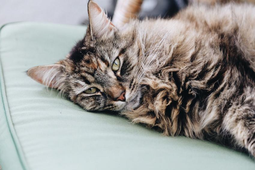 عفونت پوستی گربه