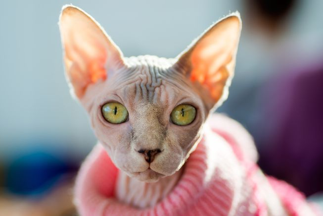 معرفی گربه نژاد اسفینکس؛ گربه بی مو، چروک و دوستداشتنی!