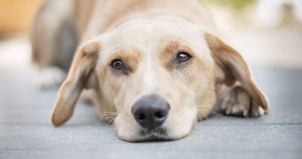 بی حالی از علایم بیماری کلیوی سگ