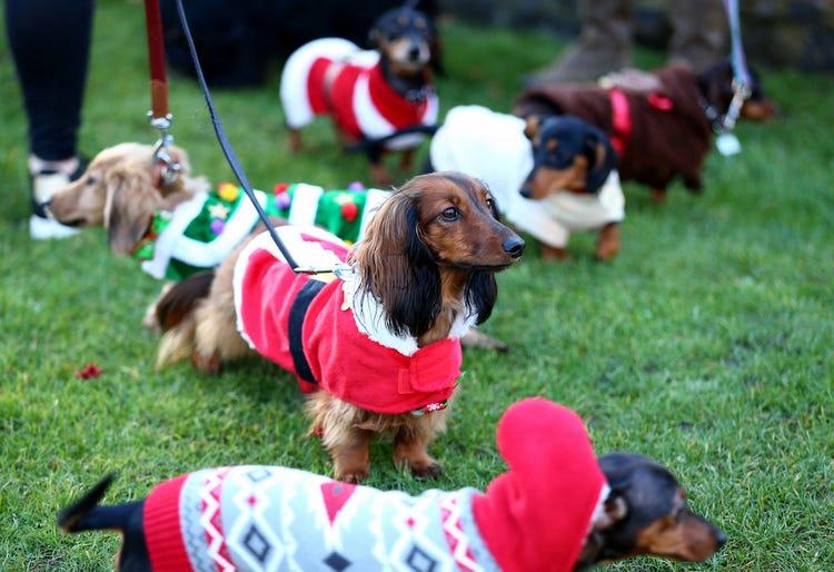 چند سگ سوسیسی در حال پیاده روی