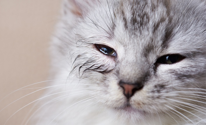 گربه با عفونت چشمی