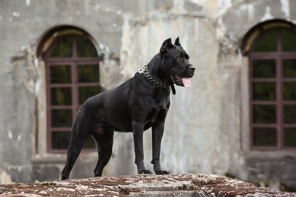 سگ نگهبان کن کورسو مشکی