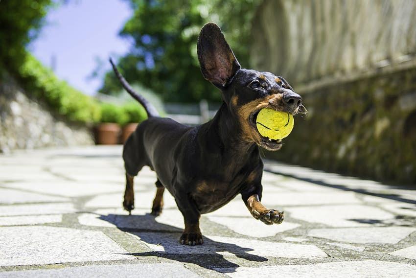عکس سگ داکسهوند در حال بازی