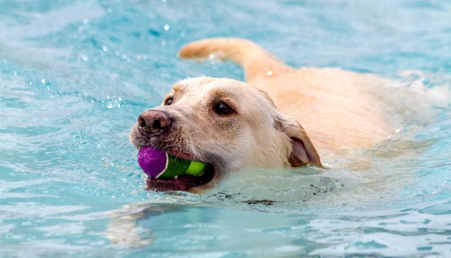 labrador retriever در حال شنا