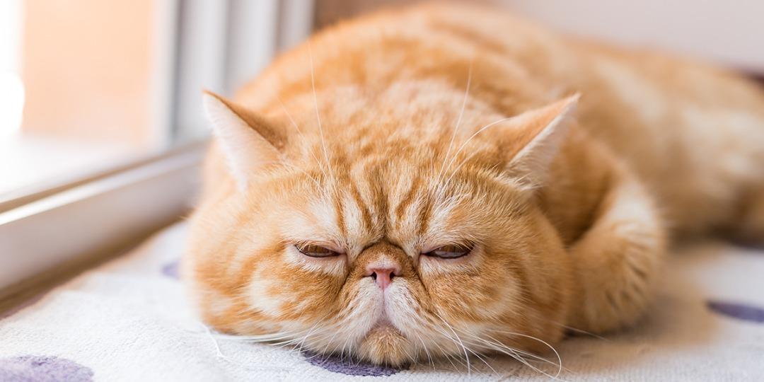 بیماری های کلیوی در گربه؛ دلایل بروز مشکلات کلیه، علائم و درمان