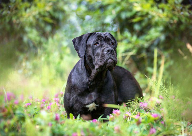 معرفی کامل سگ نژاد کن کورسو؛ سگ اصیل و باوقار ایتالیایی