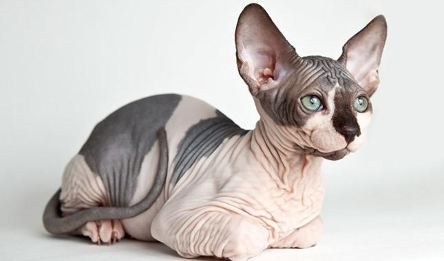 ظاهر گربه بی مو نژاد اسفینکس