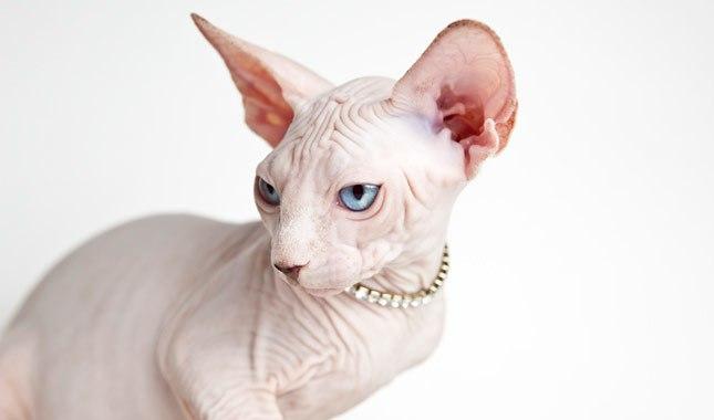 عکس گربه اسفینکس سفید