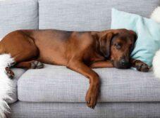 همه چیز درباره بیماریهای کلیوی در سگ