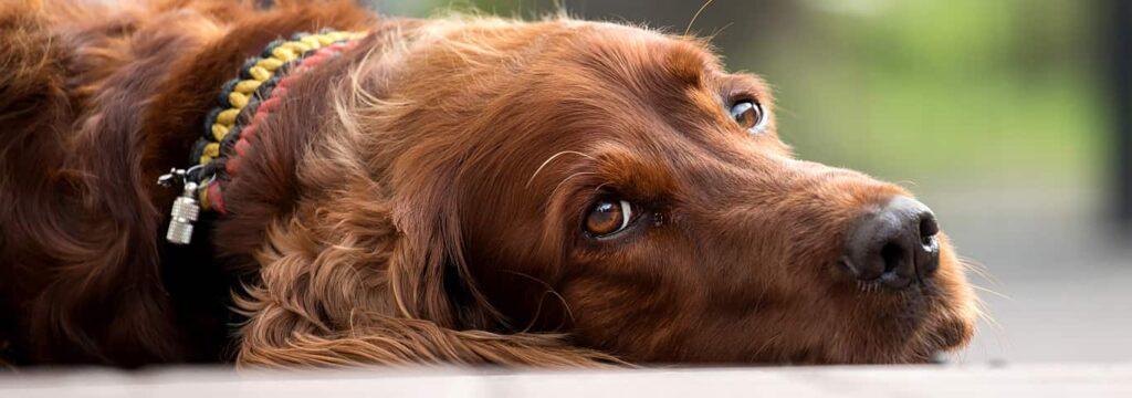 بیماری کلیه در سگ قهوهای