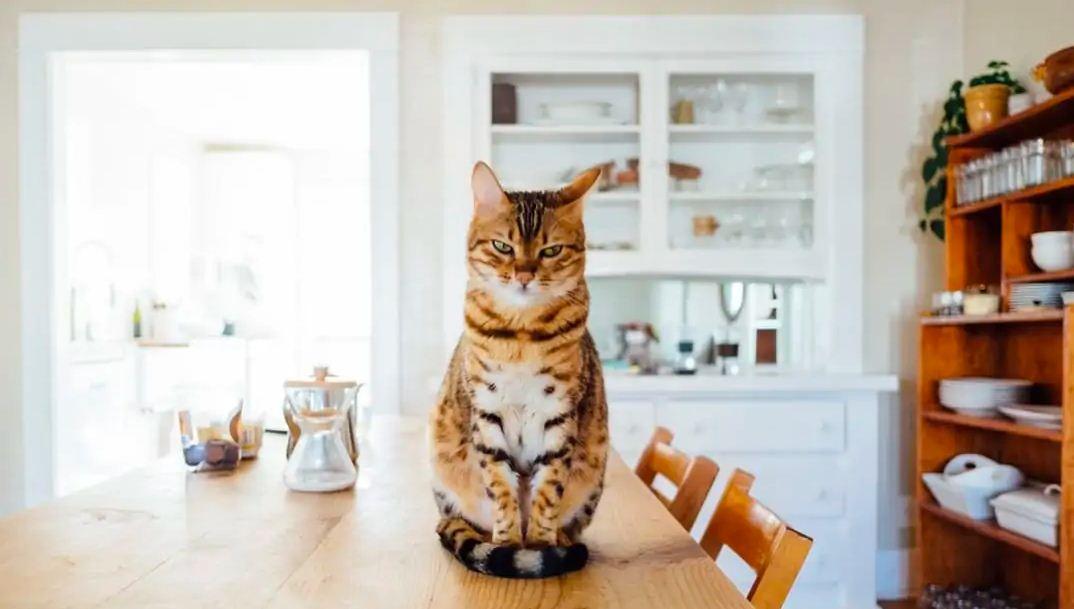 تهیه غذای رنال مناسب بیماری کلیوی گربه