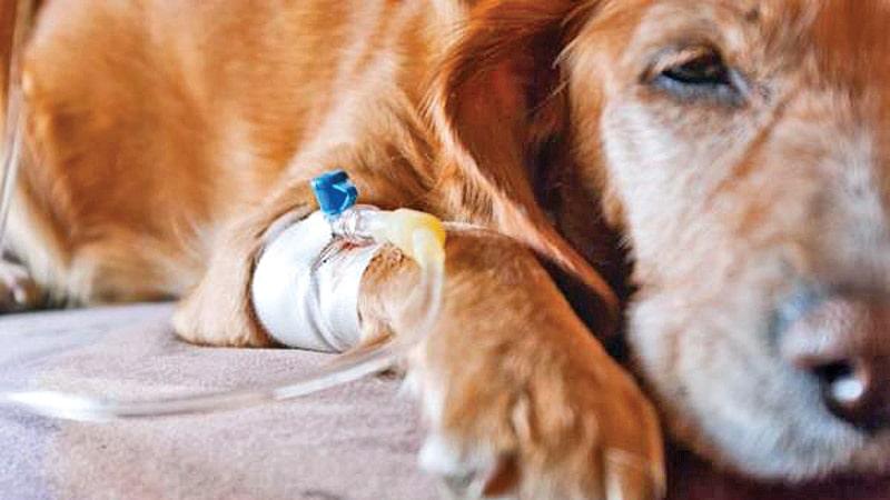 درمان بیماری کلیه در سگ قهوهای