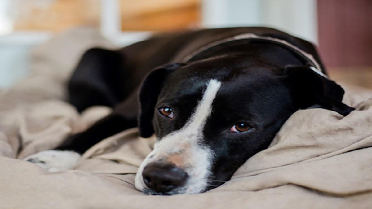 بیماری های عفونی سگ