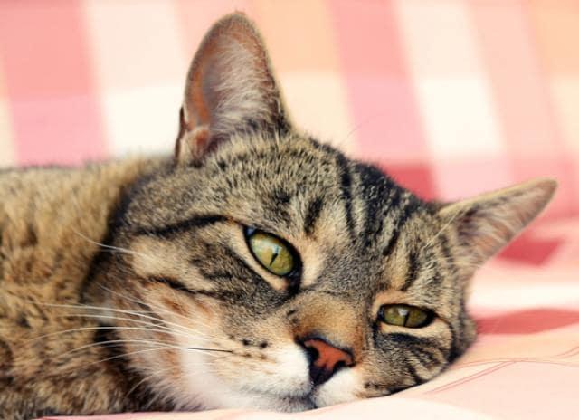 خستگی و بی حالی؛ علائم بیماری در گربه ها