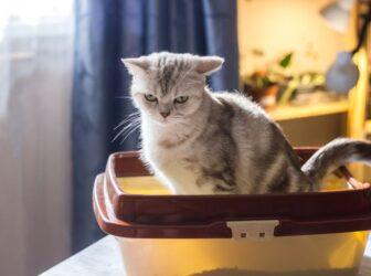 یبوست در گربه ها: علائم، پیشگیری، نحوه تشخیص و درمان آن