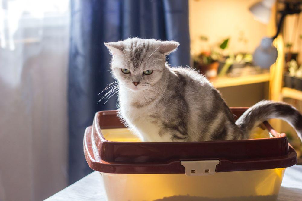 یبوست در گربه ها نوعی بیماری گوارشی