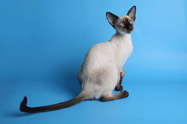 عکس گربه سیامی سنتی و کلاسیک