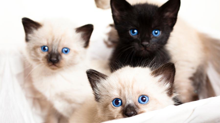 تصاویر بچه گربه های سیامی