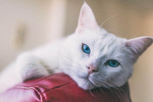 عکس گربه سفید با چشم آبی
