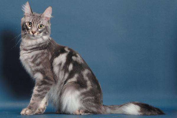 رنگ های گربه ترکیش آنگورا
