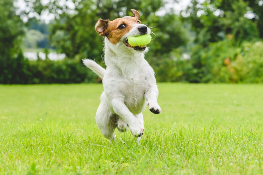 عکس از سگ جک راسل تریر در حال دویدن