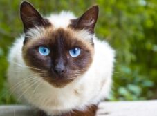 معرفی نژاد گربه سیامی؛ گربهای با ظاهری زیبا و خاص و شخصیت عجیب!