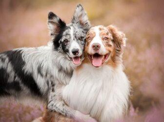 همه چیز در مورد چرخه تولید مثل در سگ ماده و نر و دوره فحلی