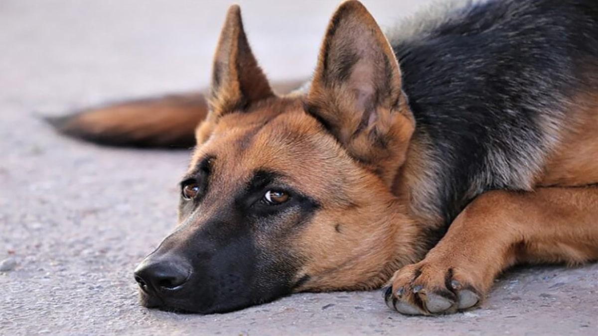بیماری عفونی چشم سگ ژرمن شپرد