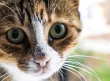 پریتونیت عفونی گربه سانان (FIP)؛ بیماری ویروسی خطرناک و کشنده گربهها