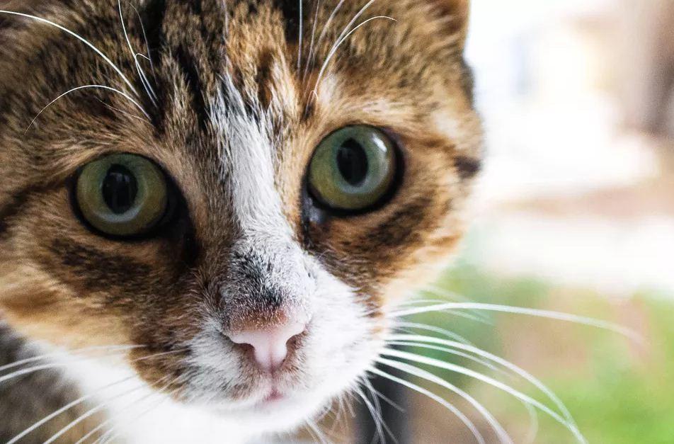 همه چیز در مورد پریتونیت عفونی گربه (FIP)؛ بیماری ویروسی خطرناک و کشنده گربهها