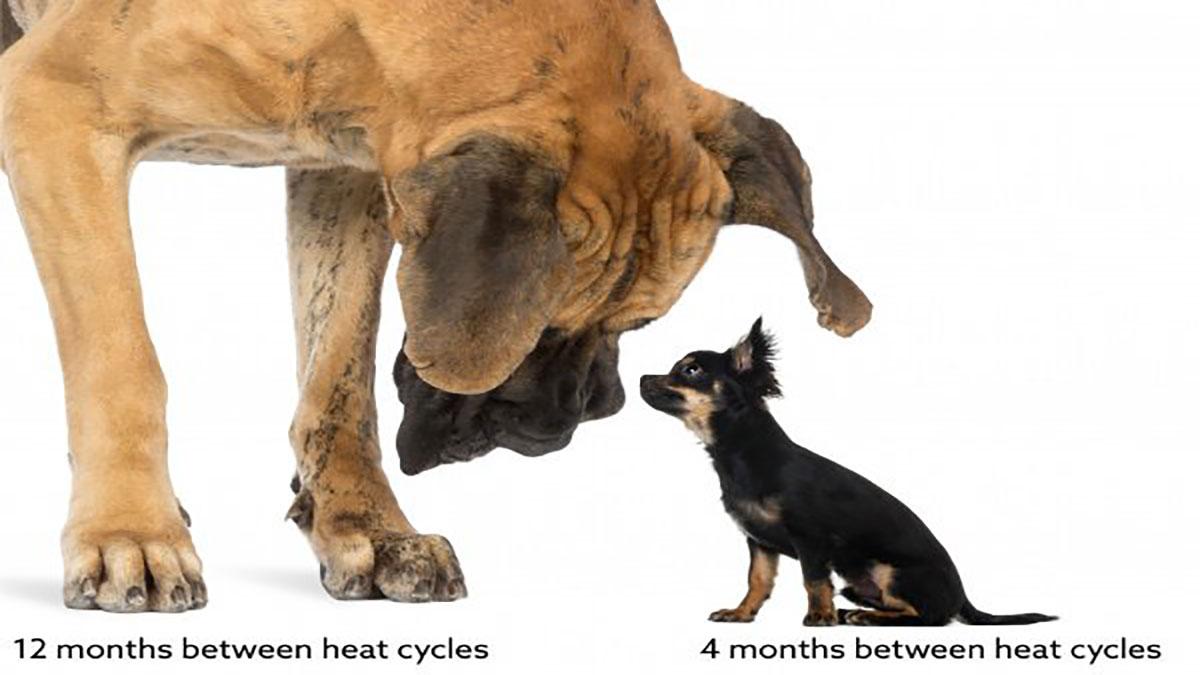 تفاوت زمان پریود سگ های مختلف