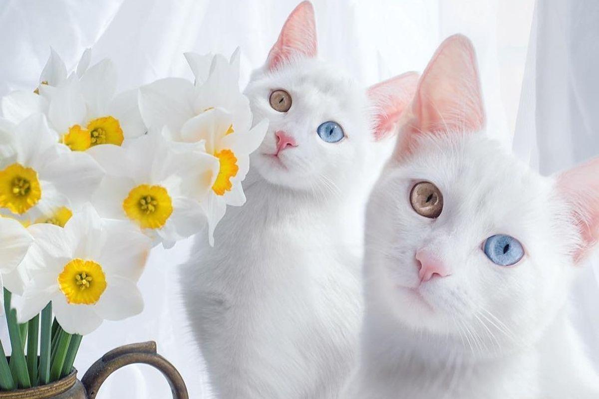 عکس گربه سفید با چشم دو رنگ