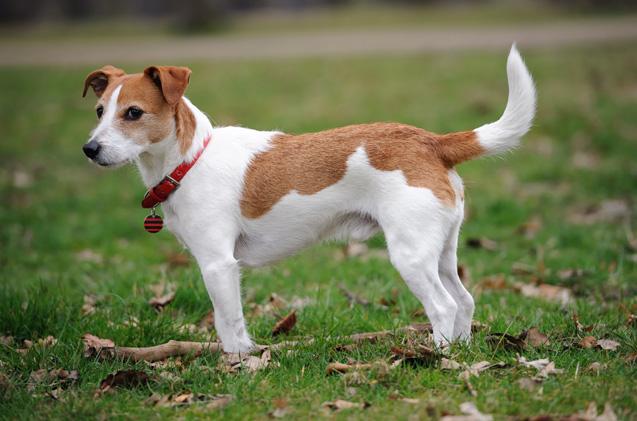 عکس سگ نژاد جک راسل تریر