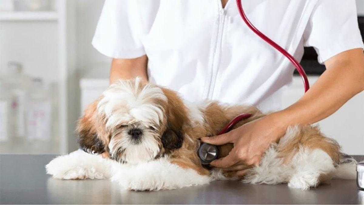 عفونت سگ شیتزو