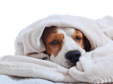 بیماریهای عفونی سگ؛ علائم و درمان عفونتهای مختلف سگ