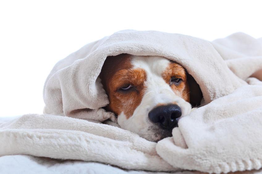 بیماری عفونی سگ