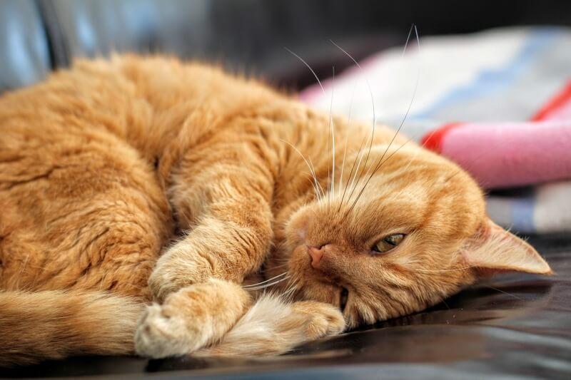 بیماری عفونت ادراری در گربه