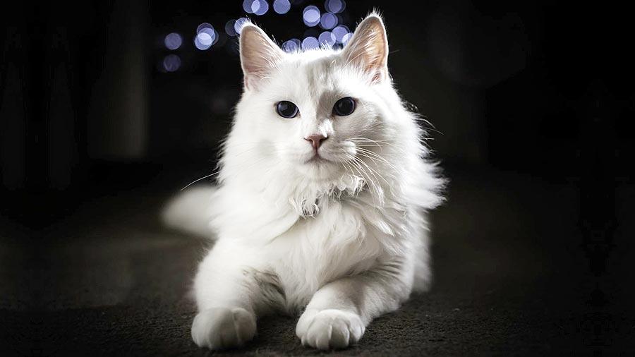 گربه سقید آنگورا