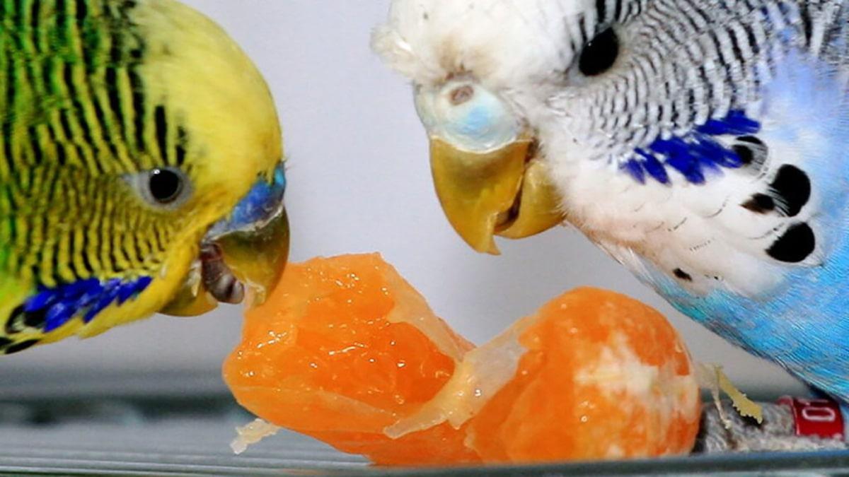 میوه جات و سبزیجات به عنوان تغذیه مرغ عشق