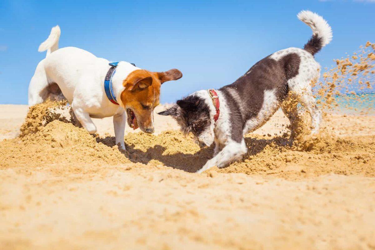 عکس سگ های جک راسل تریر