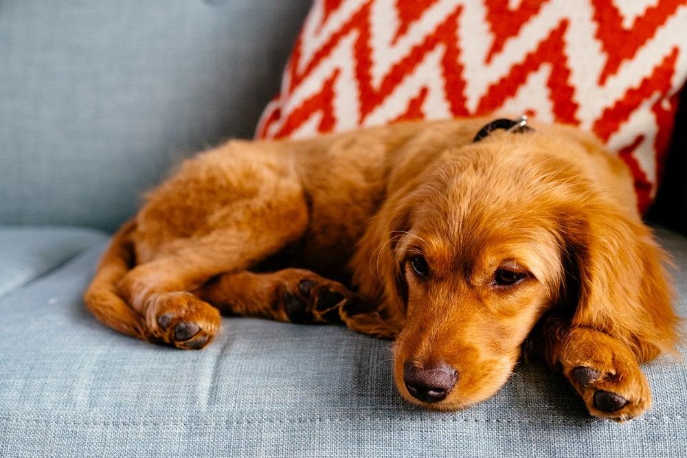 با بالا رفتن سن سگ احتمال بروز یبوست بیشتر میشه