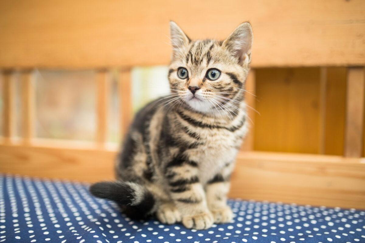 بچه گربه DSH