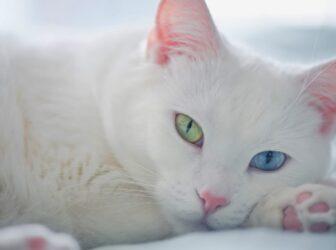نژاد گربه آنگورا؛ گربهی سفید مشهور با چشمانی تابهتا