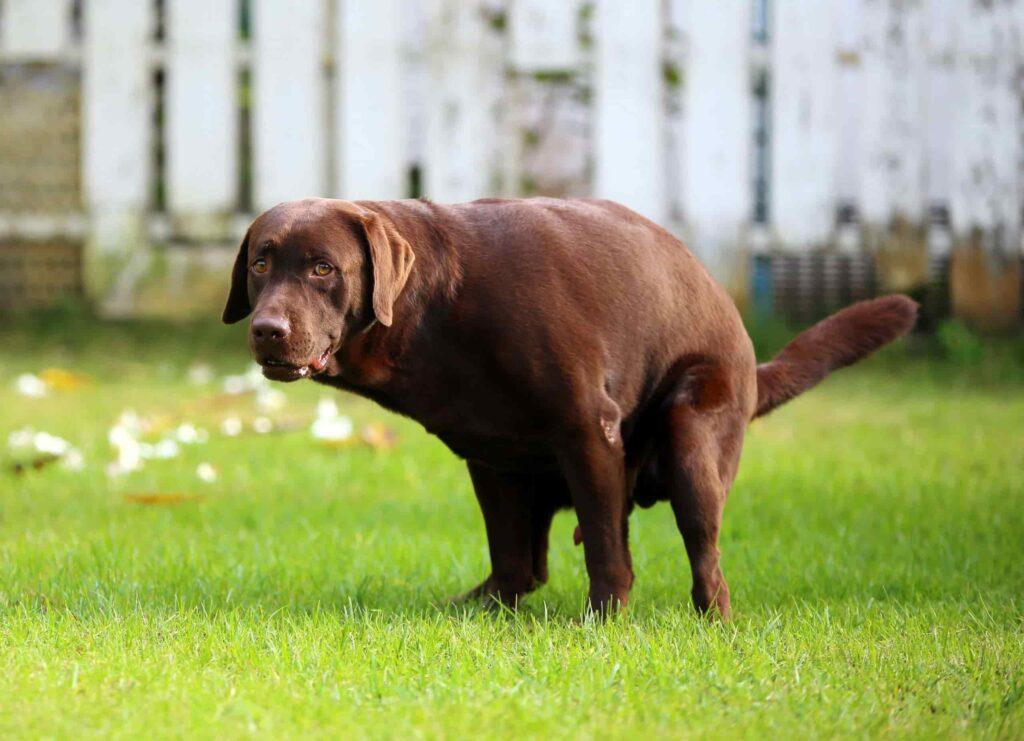یبوست سگ باعث زور زدن زیاد هنگام دفع میشه